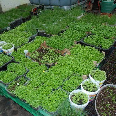 Daržovių daigai
