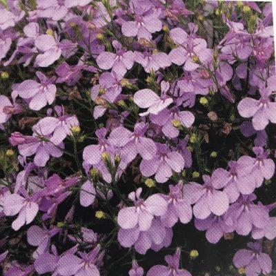 Lobelija Lilac