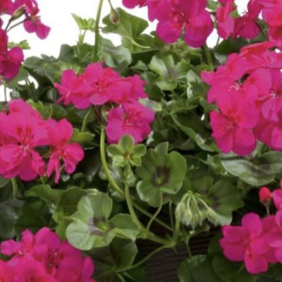 Pelargonija Allegria Hot Pink