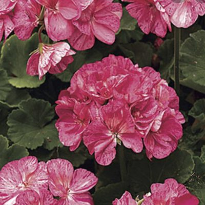 Pelargonija Survivor Pink Batik