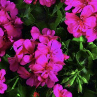 Pelargonija BIGIX Nein Pink