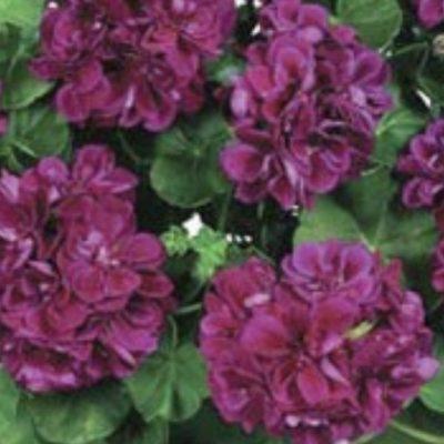 Pelargonija Atlantic Burgundy