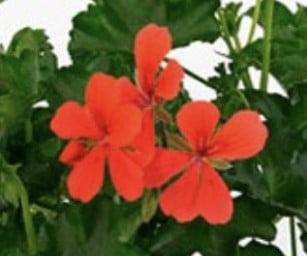 Pelargonija Grand Idols Orange