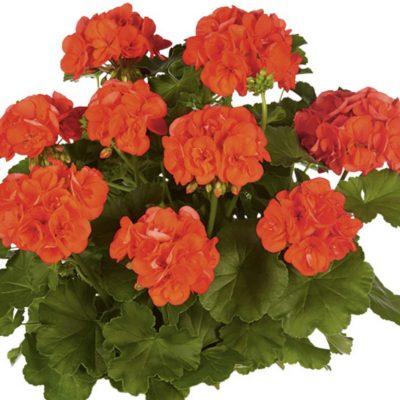 Pelargonija Survivor Orange