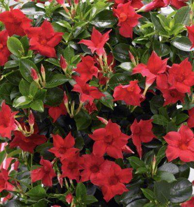 Sandovilė Velvet Red