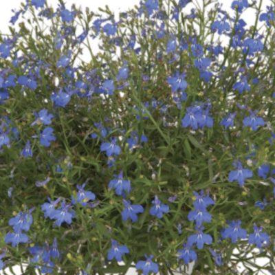 Lobelija Anabel Blue