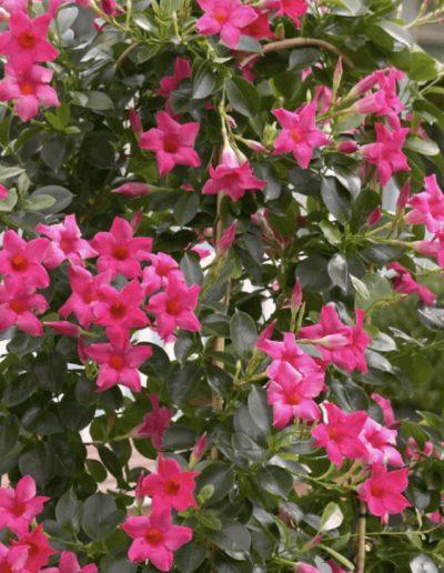 Sandovilė Pink