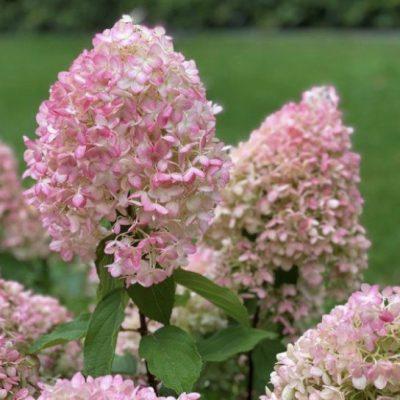 Hortenzija Pinkachu