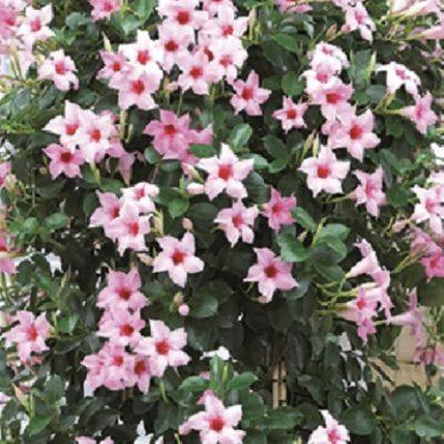 Sandovilė Cream Pink